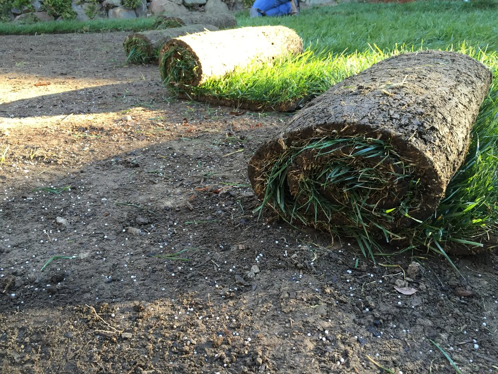 Rtf blend drought tolerant grass spotted in folsom - Drought tolerant grass varieties ...