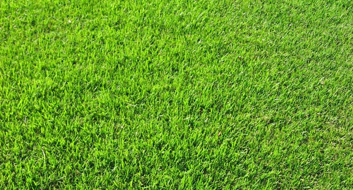 Bentgrass Park Avenue Turf