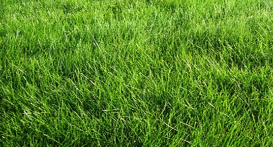 Meadow Mix Lawn