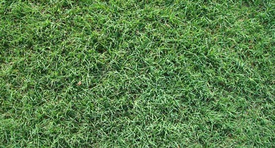 Drought Tolerant Bermuda Grass From Park Avenue Turf