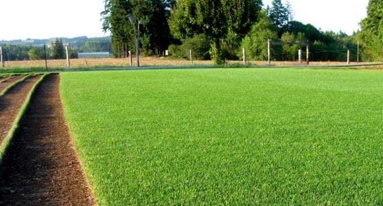 Blue Rye Sod Lawn