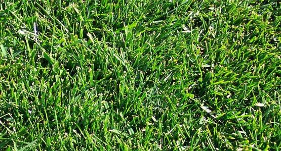 Dwarf Fescue Blue Sod Lawn