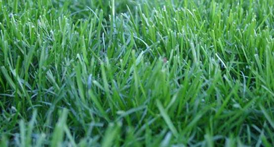 Dwarf Fescue Sod Lawn